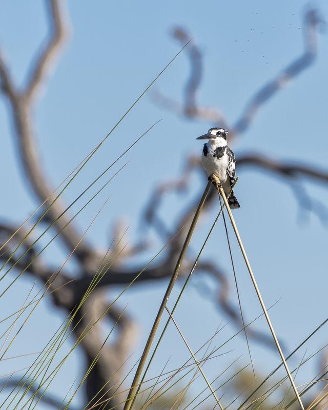 Pied Kingfisher July Wildlife Contest –  Small Birds