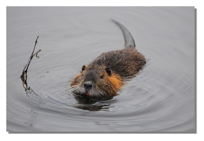 Muskrat in Mississippi