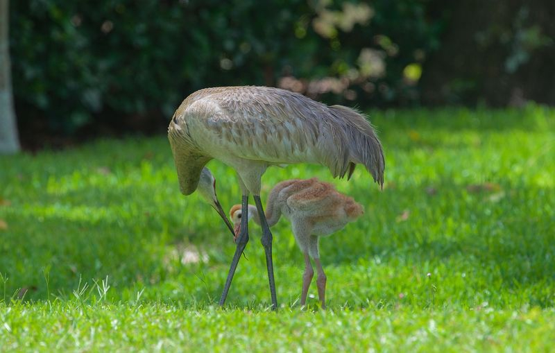 Grus canadensis-Mother passes earthworm to Baby.
