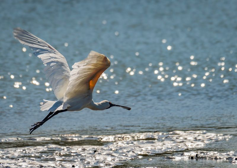 Royal Spoonbill heading out