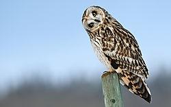 Owl (qanik)