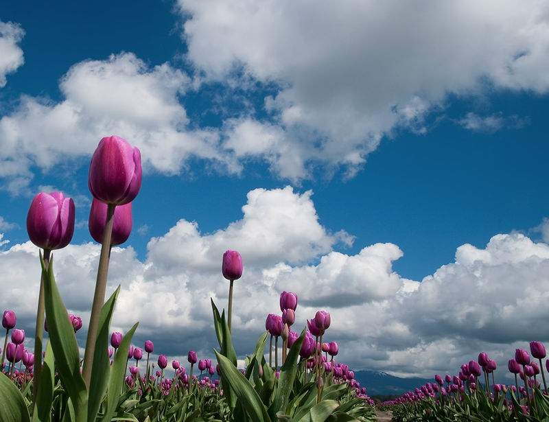 Clouds and Tulips
