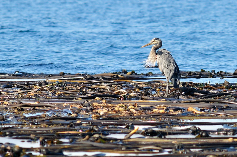 Great Blue Heron on Seaweed Forest