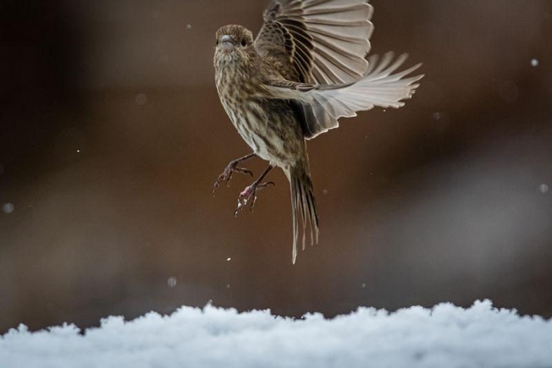 Taking flight during seasons first snow.