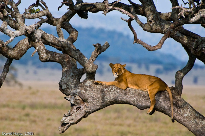 Lioness in Suasage Tree