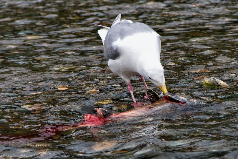 Gull Eating Gills from Chum Salmon