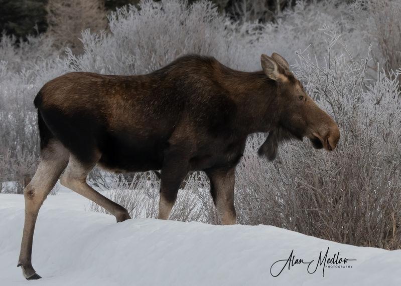 A loose moose