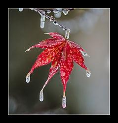 icy leaf /hnease/