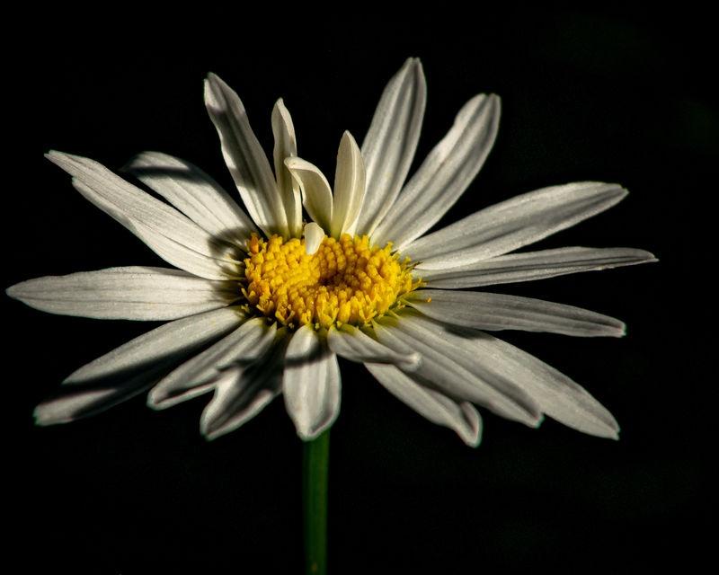 morning daisy micro