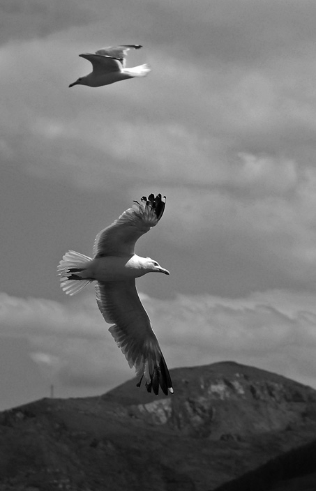 Some flying seagulls