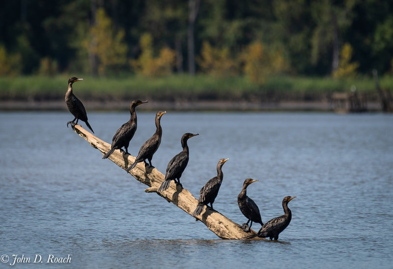 Cormorant Hanging Out