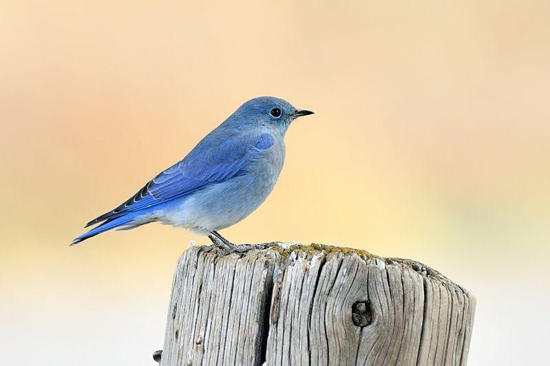 Mountain bluebird #2