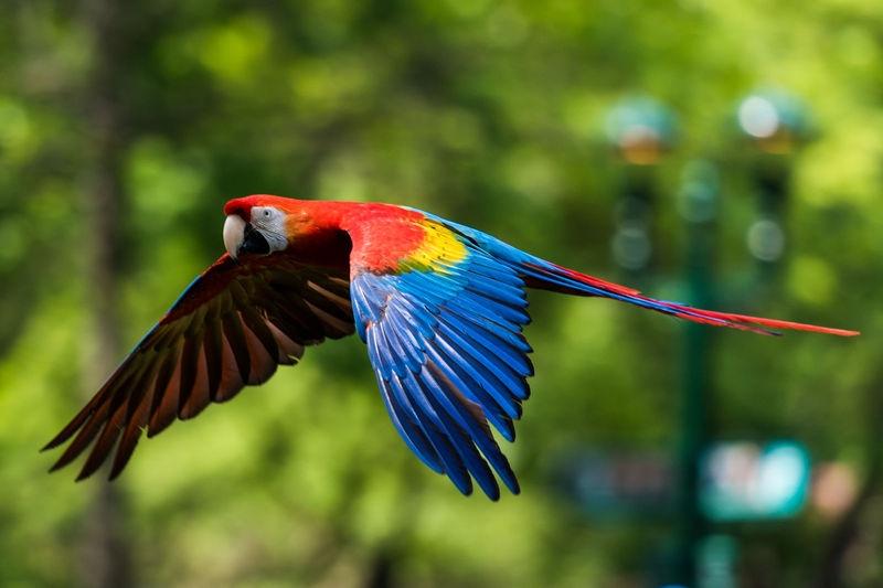Scarlet Macaw in Flight
