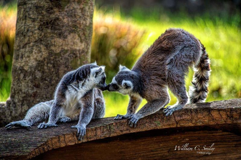 Affectionate Lemurs