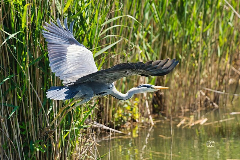 Heron just after take-off