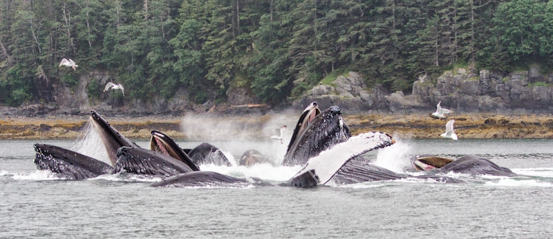 Humpback Whales Coordinated Bubble Feeding