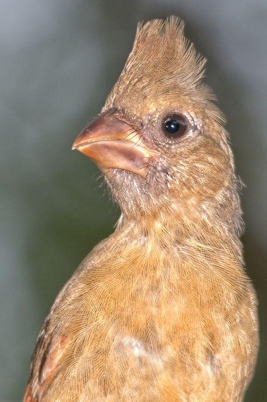 Immature Female Cardinal