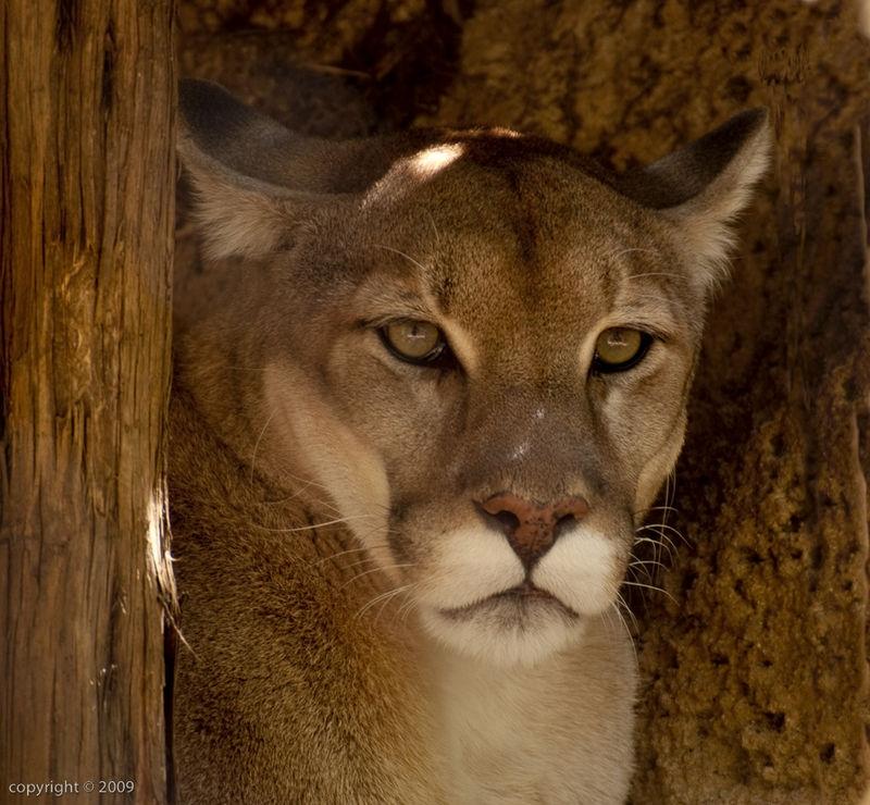 Mountain Lion Reflecting