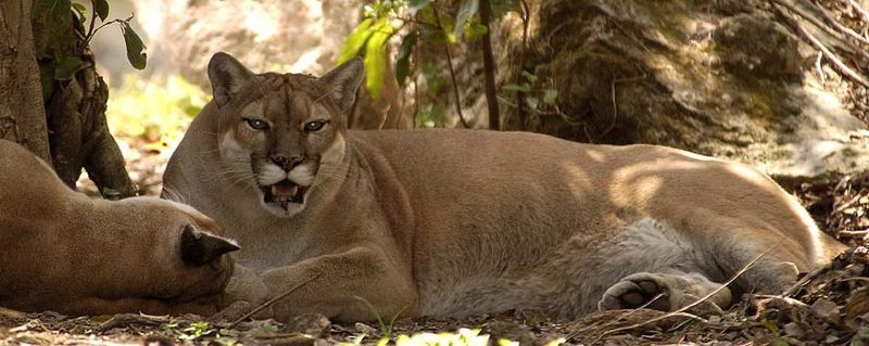 Resting Cougars