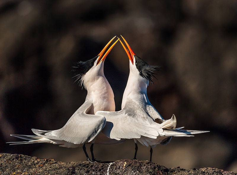 Mating Ritual Elegant Terns