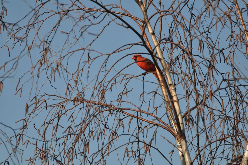 Cardinal in my Birch Tree