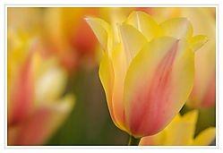 Tulip /AUMike/