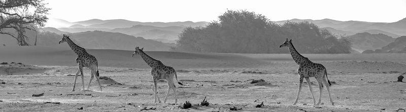 Namibian Journey of Giraffes