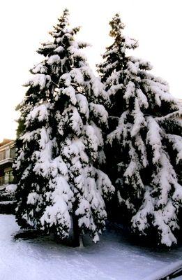 More, more, more Christmas Trees!