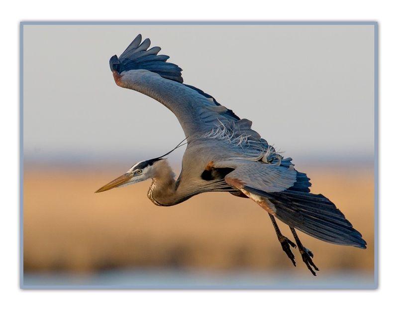 Bombay Hook Heron