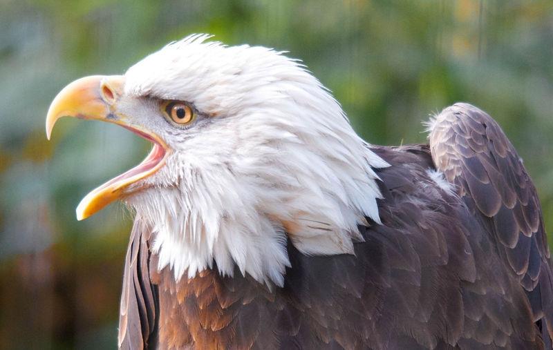 Bald Eagle Speaking
