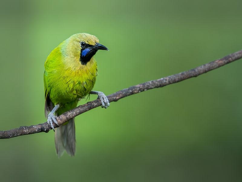 Jerden's leaf bird