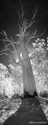 ancient tree vertical IR pano