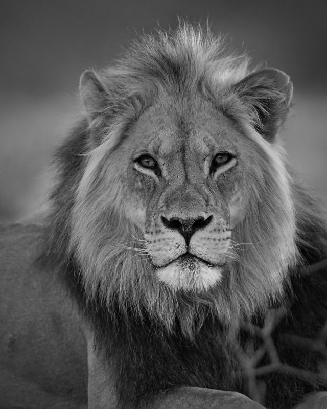 Kalhari Lion in Morning Sun