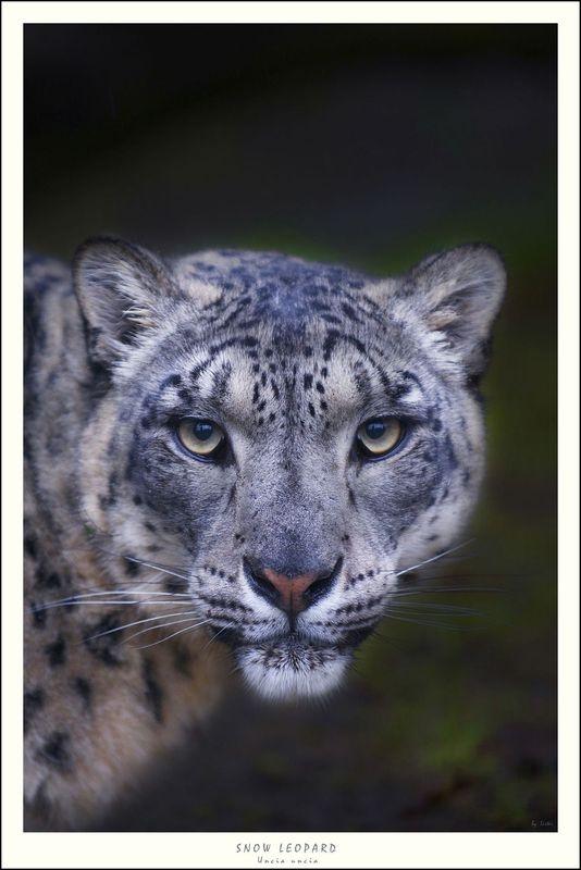 Male Snow Leopard