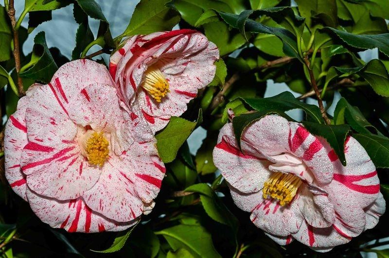 Tsubaki Flowers