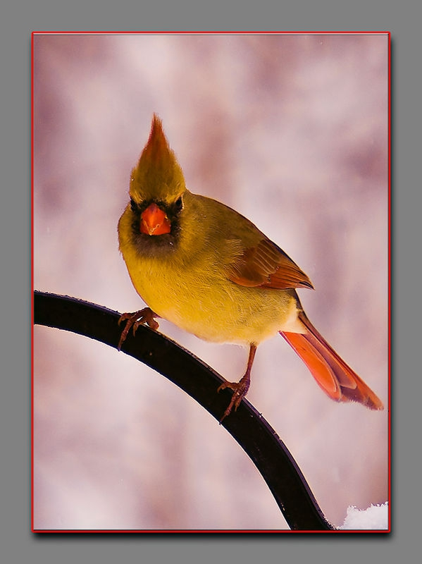 The Female Cardinal