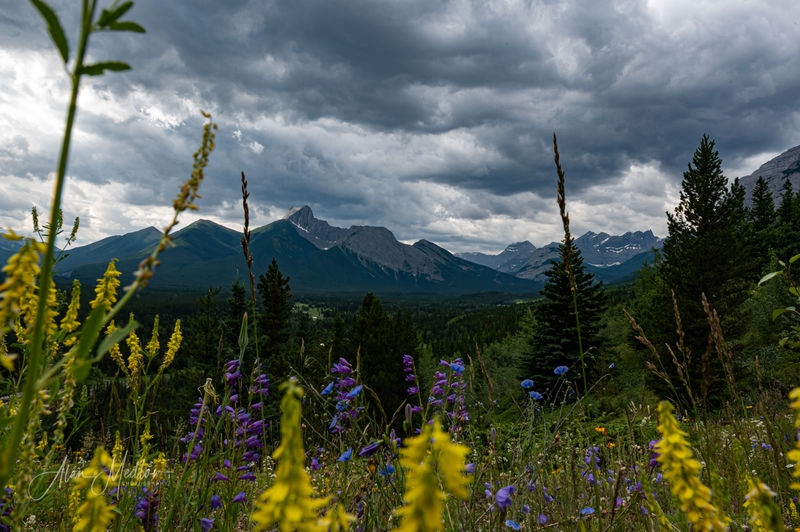 Wild flowers in the wild Rockies