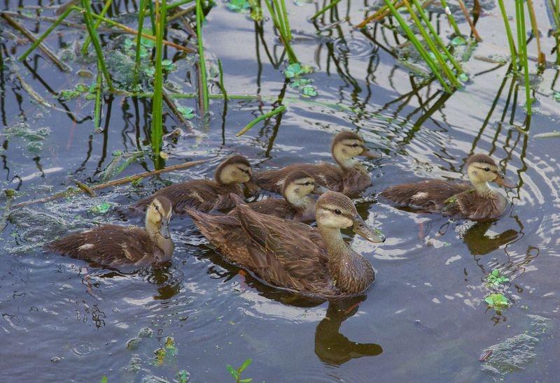 Anas fulvigula-Florida Mottled Duck and Offspring