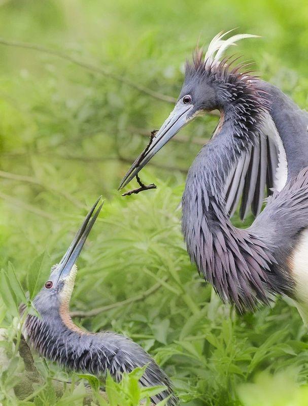 Tricolored herons nestbuilding