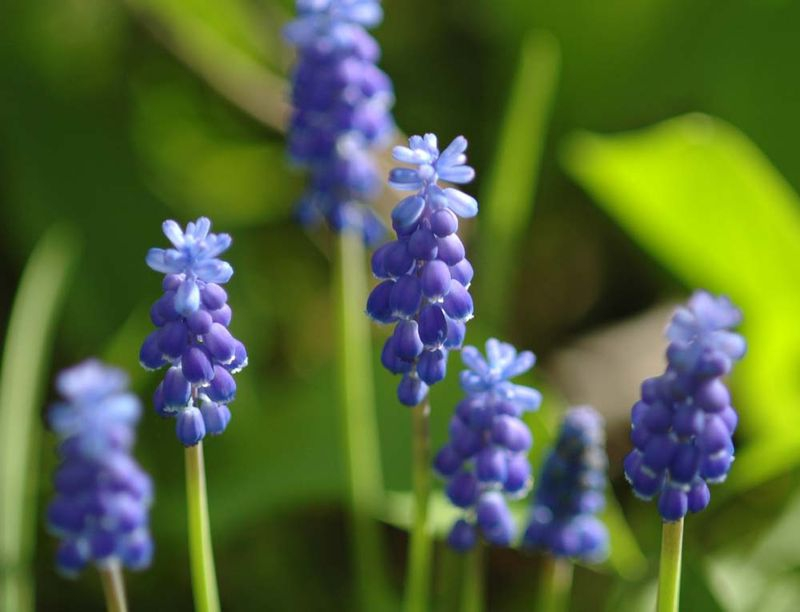 Morning Bluebells