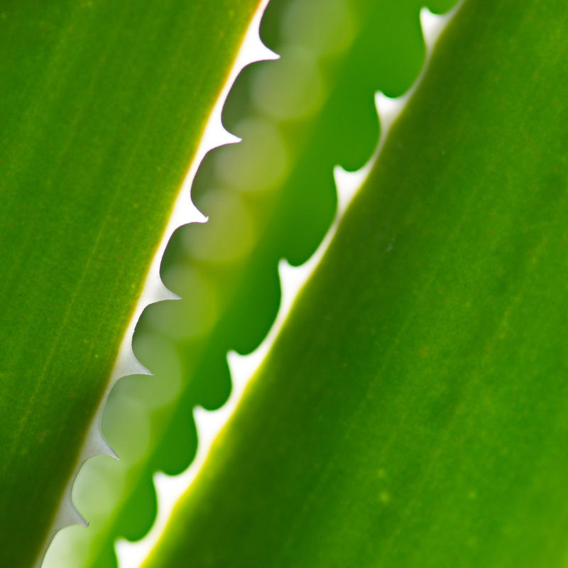 Aloe teeth 2