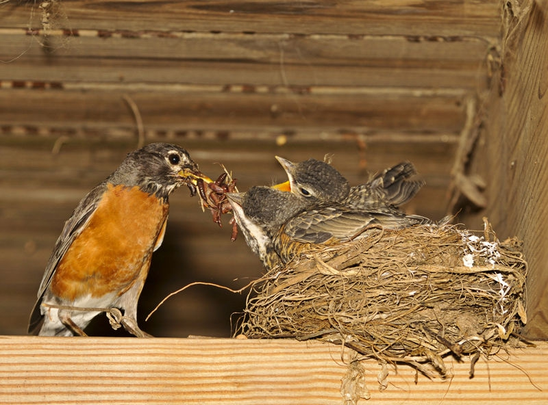 Robin mama and babies