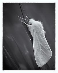 American White Moth /mebrunsdon/