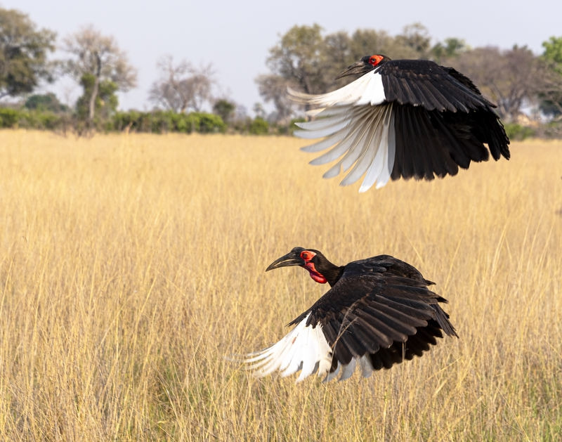 Two Hornbills