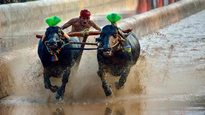 Buffaloe Race