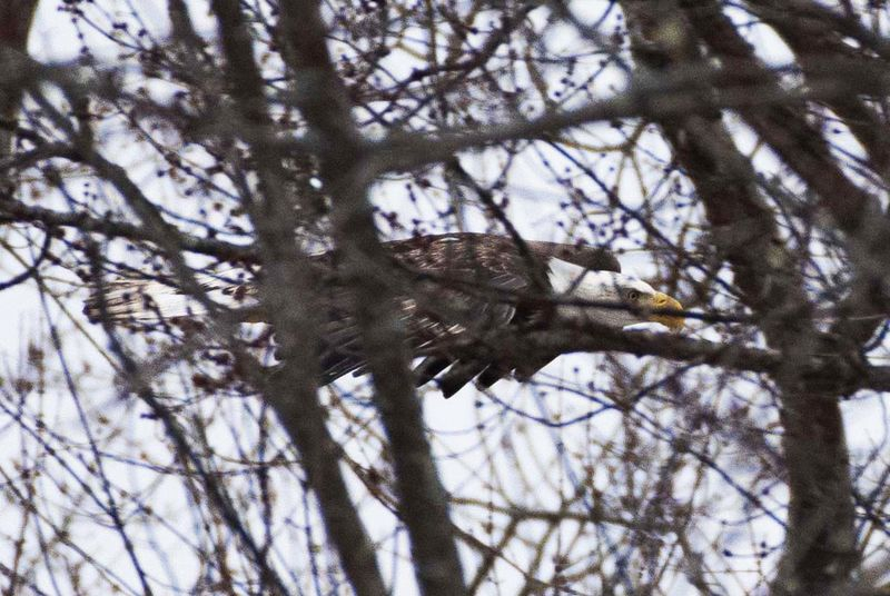 Eagle in Trees