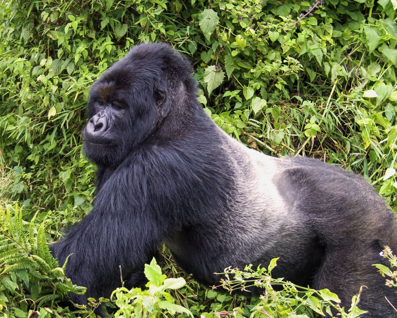 Protect the Mountain Gorilla