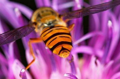 Luminous Hoverfly