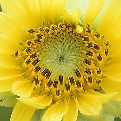 Sunflower (bayouboy)