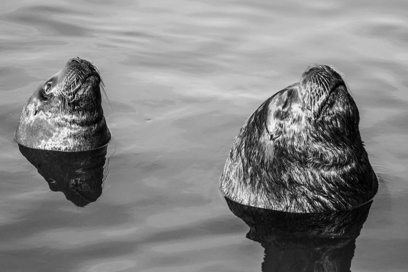 February Contest – Black & White and Wild -Sealions possing in Punta del Es